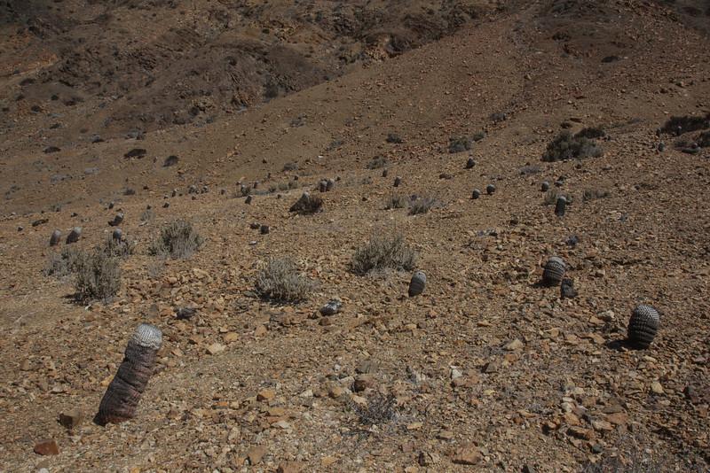 Copiapoa cinerea subsp. columna-alba