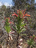 Lobelia tupa? or oligophylla?