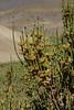 Ephedra chilensis syn. Ephedra andina   ?