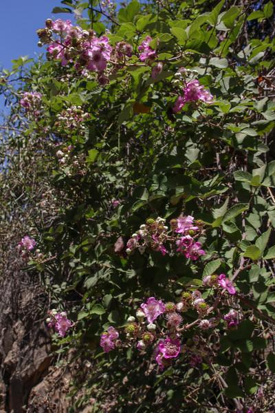 Rubus spec