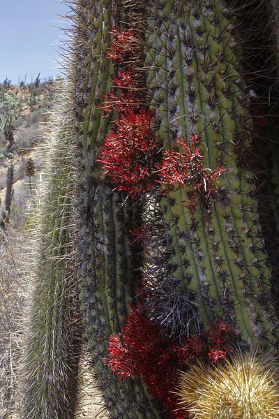 Echinopsis chiloensis & Tristerix aphyllus