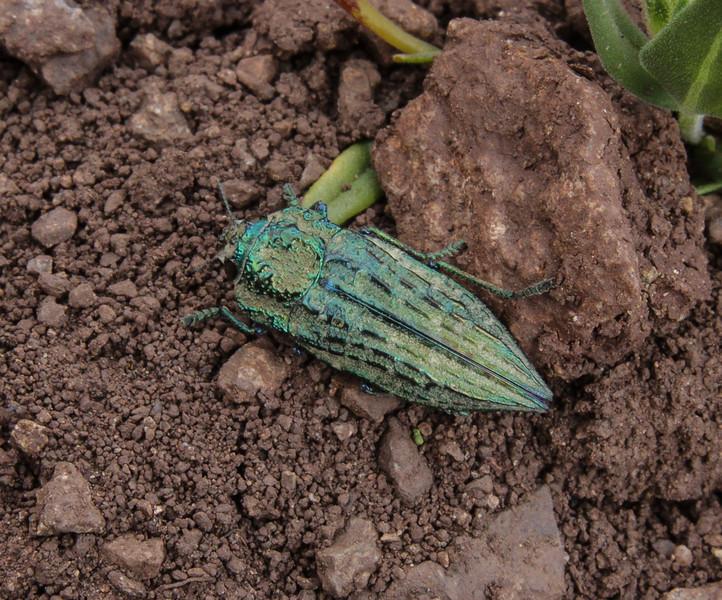 Ectinogonia speciosa ssp speciosa (Germain, 1855)