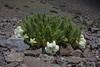 Caiophora coronata