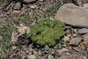Nastanthus scapigerus