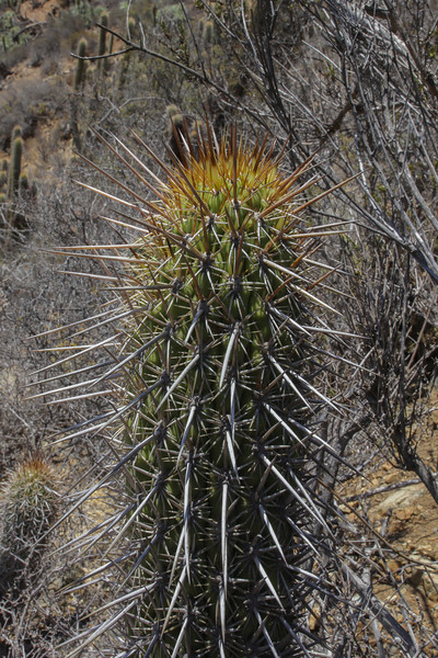 Echinopsis chiloensis