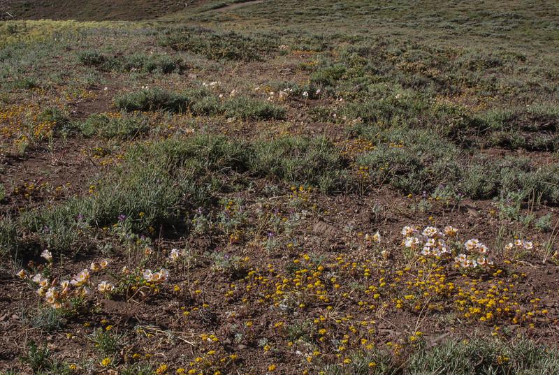 Tropaeolum sessilifolium