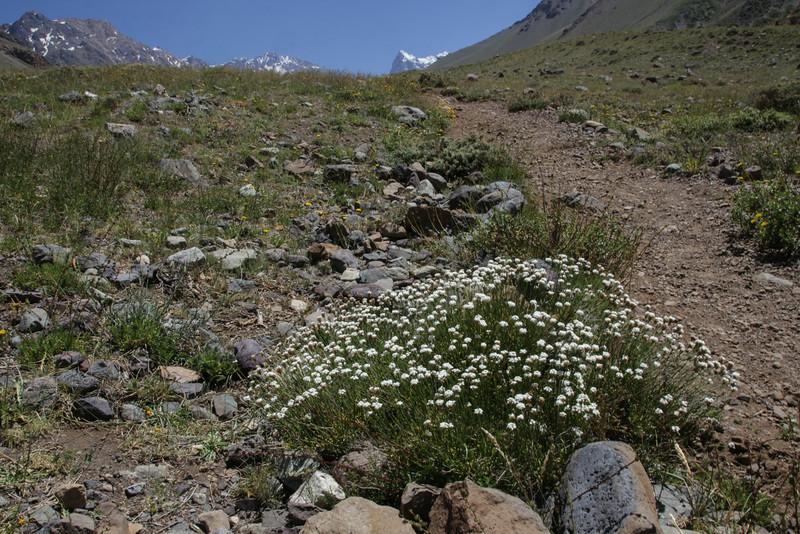 Mulguraea spathulata, white form