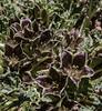 Jabarosa laciniata