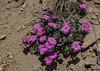 Cistanthe picta in a purple form