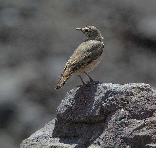 Geositta rifipennis