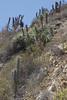 Echinopsis chiloensis & Puya beteroniana