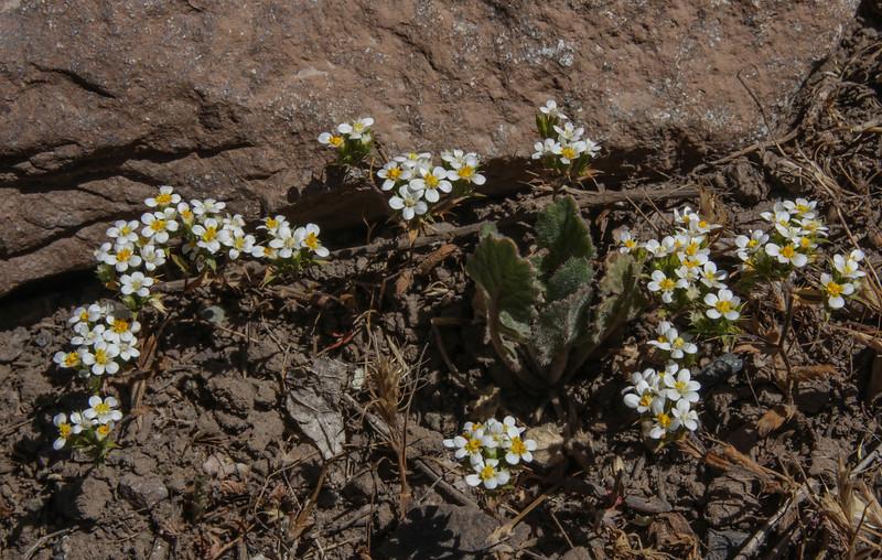 Nassauvia aculeata, N. looseri or Nassauvia uniflora