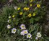 Ranunculus peduncularis var. erodiifolius &