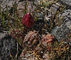 Austrocactus spiniflorus