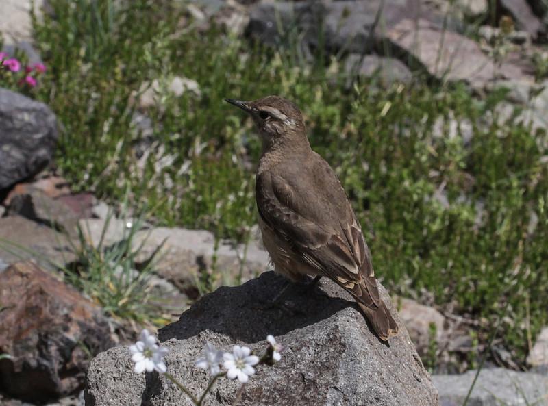 Geositta rufipennis