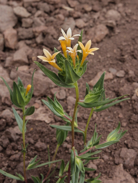 Collomia linearis?