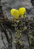 Calceolaria inamoena