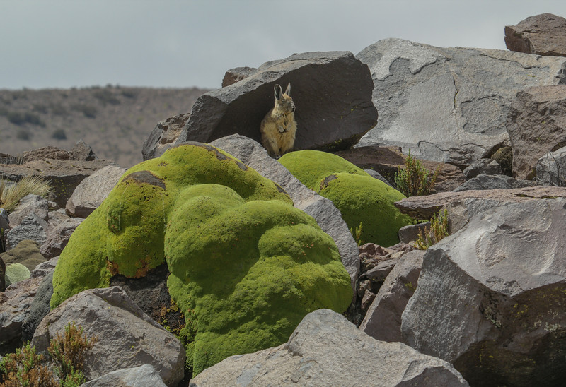 Lagidium viscacia and Azorella compacta