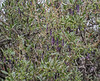 Dunalia spinosa