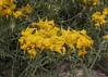 Solanum lycopersicoides