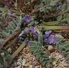 Astragalus pusillus