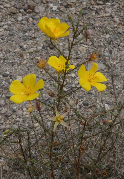Balbisia microphylla