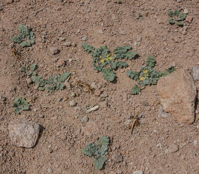 Jaborosa parviflora