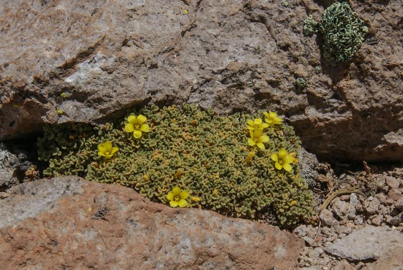 Oxalis tacorensis