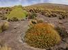 Azorella compacta & Cumulopuntia boliviana ssp. ignescens,