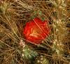 Cumulopuntia boliviana ssp. ignascens,