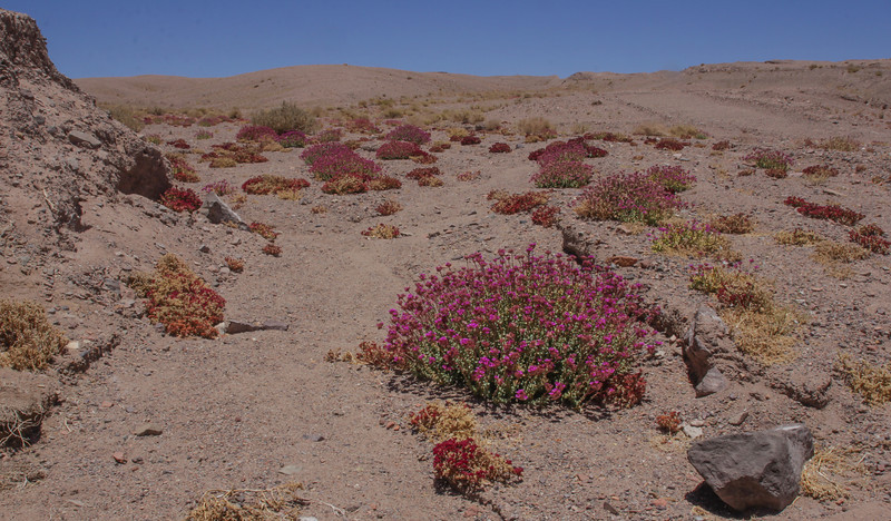 Cistanthe salsoloides and the smaller Cistanthe amaranthoides