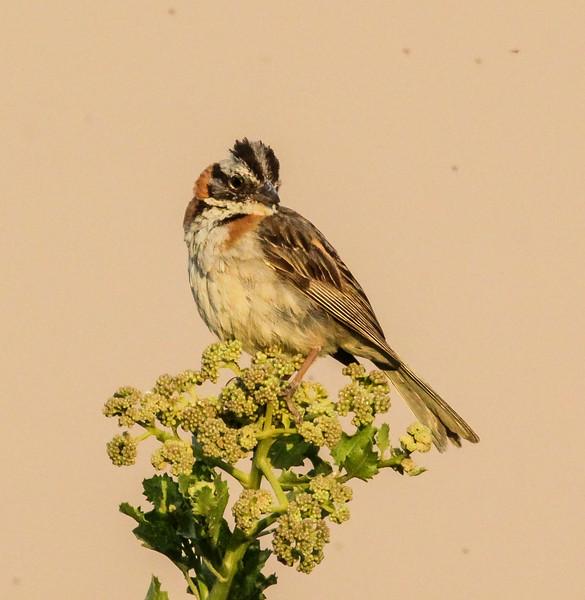 Zonotrichia capensis ssp. antofagastae