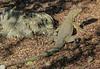 Tropidurus peruvianus araucanus