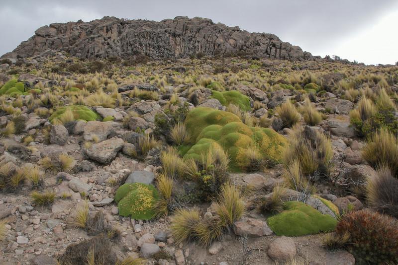 Cumulopuntia sphaerica in front & Azorella compacta