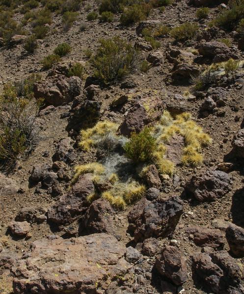 Cumulopuntia echinacea