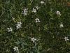 Lobelia oligophylla (syn. Pratia oligophylla) with Distichia muscoides