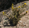 Senecio dryophyllus