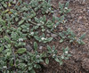Tiquilia paronychioides