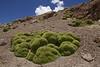 Azorella compacta & Pycnophyllum bryoides