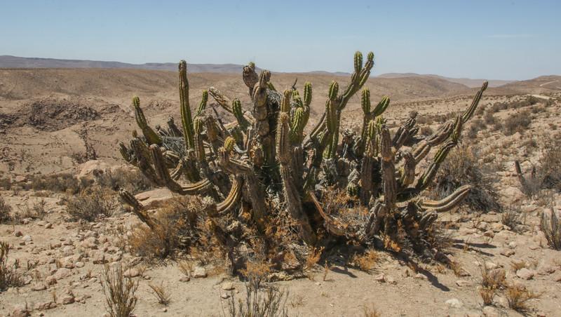 Corryocactus brevistylus