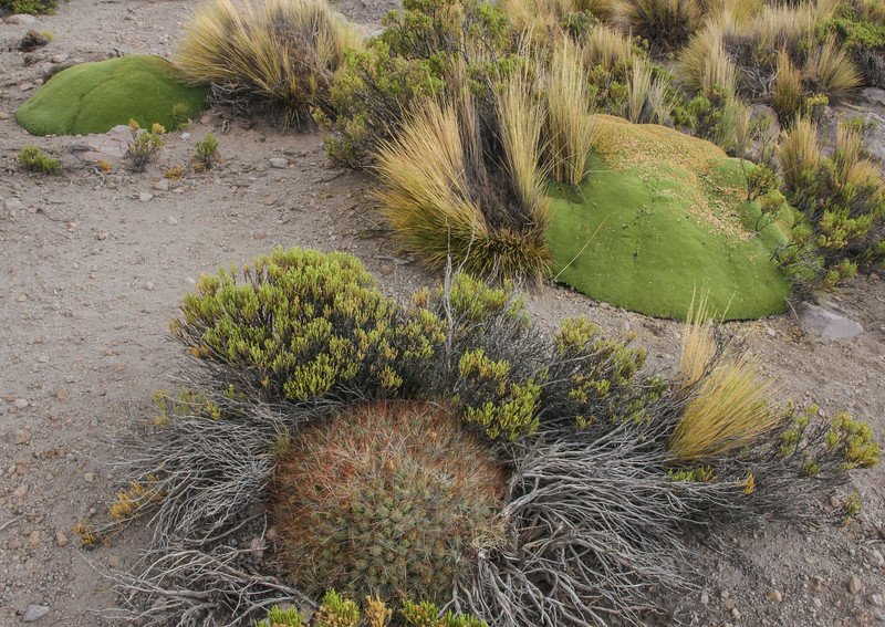 Cumulopuntia sphaerica