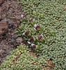 Hypochaeris taraxacoides & Azorella compacta