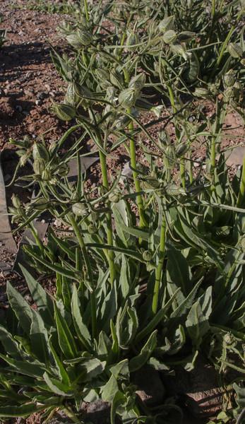 Nicotiana longibracteata