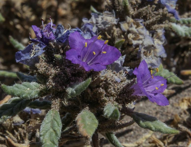 Tiquilia grandiflora