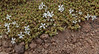 Arenaria rivularis