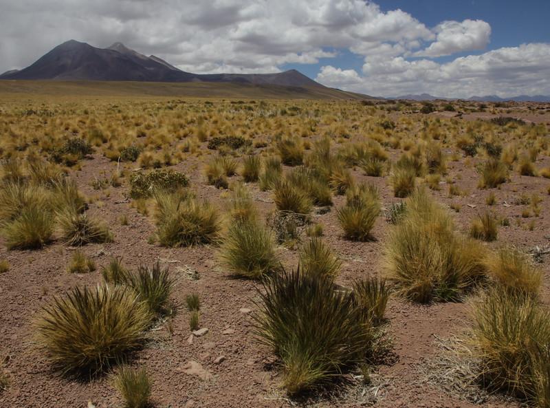 Hordeum pubiflorum ssp. halophilum