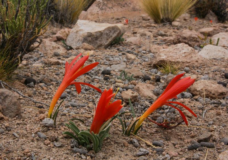Clinanthus humilis