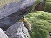 Lagidium viscacia & Azorella compacta