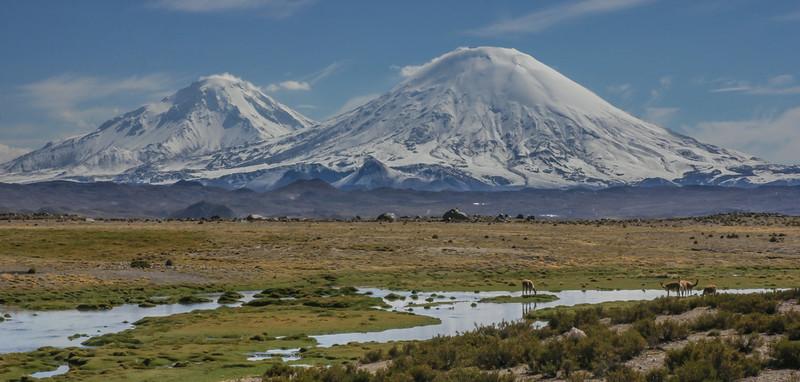 Vicugna vicugna, with vulcano Pomerape and Parinacota