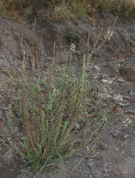 Mulgaraea arequipensis